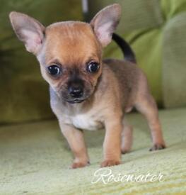 *BEAR* KC Apple head Chihuahua boy RESERVED