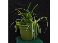 Plants, indoor. 4 foliage plants in lg green container