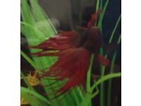 FREE SIAMESE fighting fish, SUITABLE HOME ONLY