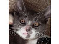 Grey boy kitten 10 weeks old