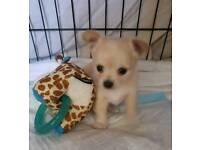 Miniture Chihuahua pups