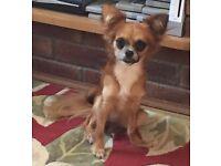 14 month chihuahua