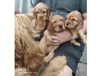 Cocker Spaniel Pappies
