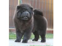 Female black Chow chow 4 month old puppy for sale
