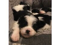 Stunning toy poodle x Japanese Chin puppies