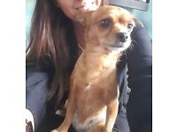 Missing Female Chihuahua Cross