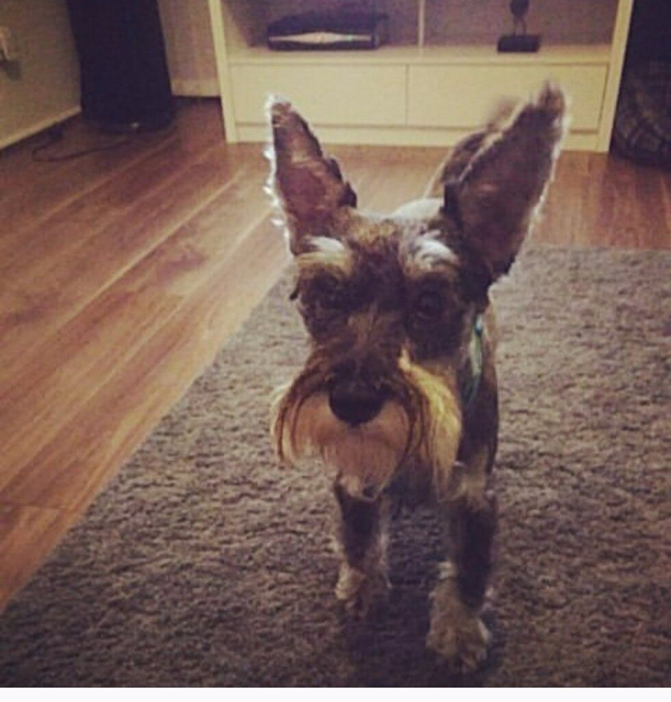 1 year old miniature schnauzer for sale