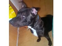Male staffy cross Labrador URGENT REHOME