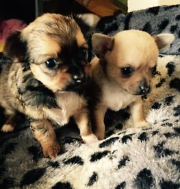 Chihuahua puppies for sale all girls