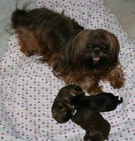 GORGEOUS SHIH TZU PUPPIES (Registered CKC))