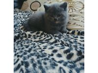 Pure British Shorthair Girl, Ready to leave NOW