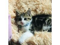 Beautiful boy mix bengal tabby white paws kitten