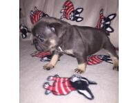 Beautiful French Bulldogs. Blue & tan, blue fawn & sable. Stunning colours!