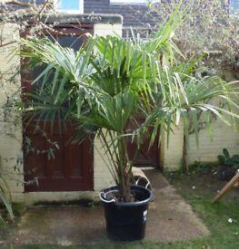 Large plant - Fan Palm