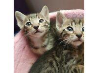 Beautiful unique Serengeti kittens!