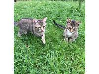 2 male tabby grey kittens for sale