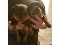 Rottweiler x dogue de bordeaux puppies 2 pups available