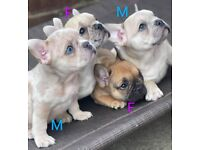 4 Beautiful French Bulldog Puppies