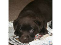 Kc Reg. Black & Chocolate Labrador puppies m/f