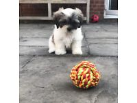 CUTE Shih Poo puppy for sale
