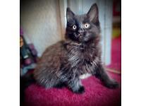Kittens (long haired) £60