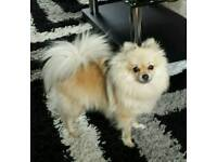 Beautiful pomeranian miniature cream sable girl for sale