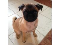 Beautiful female Apricot KC registered pug