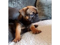 STUNNING BEAUTIFUL SHOW QUALITY FRENCH BULLDOG PUPS FOR SALE
