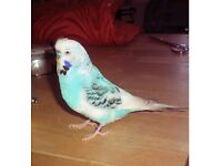 LOST Blue Budgie Sunday 9th April from Orpington High Street Area.