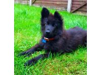 Long Haired Black German Shepherd Puppy (6 months old)