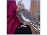 Pet Cockatiel Missing