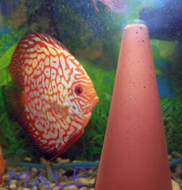 Discus fish young pair