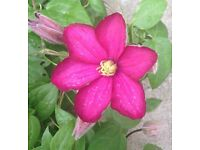 6 Year Old Red Climbing Clematis Plant