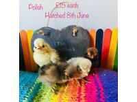 Baby chicks ready to go, guaranteed females