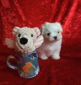 Small Maltese puppies adorable fluffy puppy tiny little dog white lapdog