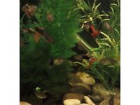 Guppies for sale (Tropical fish) mixed colours