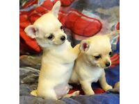 KC Smooth coat chihuahuas