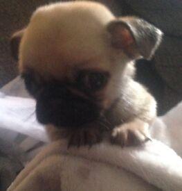 Chug puppies (pug x chug ) 1 boy sold