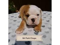Quality KC English Bulldog Puppies