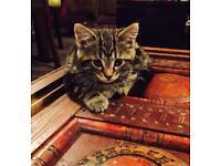 5 month tabby Kitten