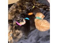 Kittens Available Sept 13th 2021