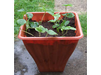 Strawberry Planter 32cm square, height 18cm with 4 Plants £5.00 - No.2