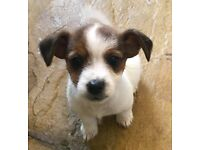 Minature jack russell cross yorkshire terrier