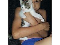 Male white and tabby kitten