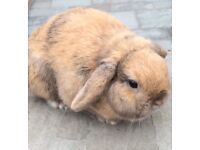 Mini Lop Rabbit