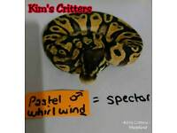 Pastel Whirlwind Royal Python Hatchling (Pastel Spector)