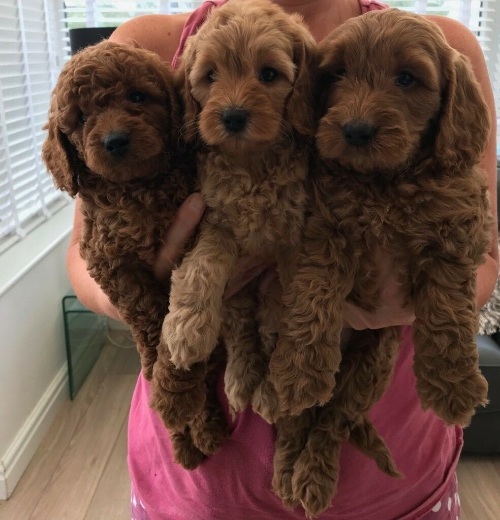 extensively health tested red cockapoo pups in grimsby