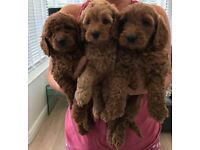 Extensively health tested Red Cockapoo pups.