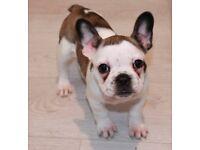 **Reduced price** french bulldog puppy