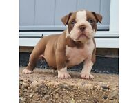 American Pocket Bully Pups